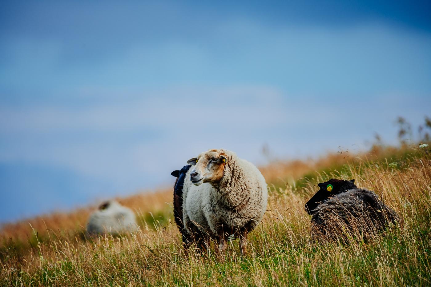 Schafe auf dem Mönchgut (Insel Rügen)